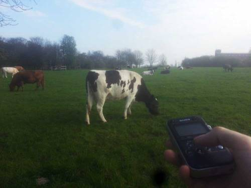 recordingcows
